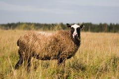 Pecore nel campo. Immagine Stock