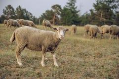 Pecore nel campo Fotografie Stock