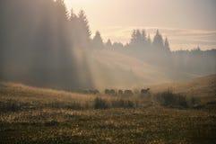 Pecore nel campo di mountin Immagini Stock Libere da Diritti