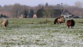 Pecore nel paesaggio congelato, Voorstonden, Olanda Fotografie Stock