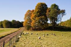 Pecore nel paesaggio del autmn Fotografia Stock