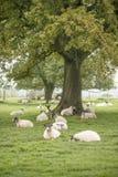Pecore nel paesaggio del campo dell'agricoltore in Autumn Fall Immagini Stock Libere da Diritti