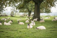 Pecore nel paesaggio del campo dell'agricoltore in Autumn Fall Fotografia Stock