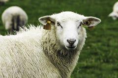 Pecore nel pascolo Fotografia Stock