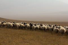 Pecore nel pascolo Immagine Stock Libera da Diritti