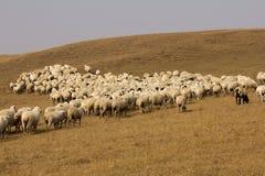 Pecore nel pascolo Fotografie Stock