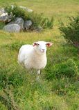 Pecore nel pascolo di estate Immagine Stock Libera da Diritti