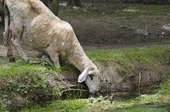 Pecore nel pomeriggio di estate Fotografia Stock Libera da Diritti