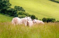 Pecore nel prato Fotografie Stock
