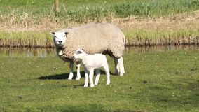 Pecore nel prato video d archivio