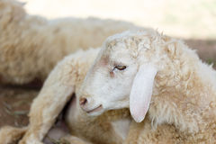 Pecore nel prato del fram Immagine Stock Libera da Diritti
