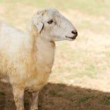 Pecore nel prato del fram Fotografie Stock Libere da Diritti