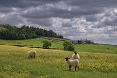 Pecore nel prato di fieno inglese Fotografia Stock