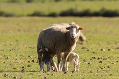 Pecore nel primo mattino del pascolo Fotografia Stock Libera da Diritti