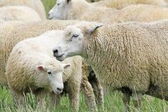 Pecore nel profilo Fotografia Stock