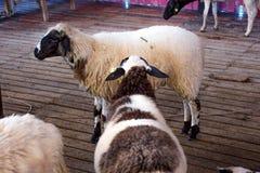 Pecore nel recinto chiuso Fotografia Stock