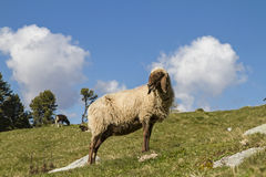 Pecore nel Tirolo Immagini Stock Libere da Diritti