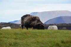 Pecore nel vento Fotografia Stock Libera da Diritti