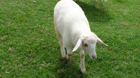 Pecore nell'agricoltura del prato della natura all'aperto sul fondo dell'erba Fotografia Stock Libera da Diritti