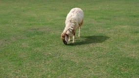 Pecore nell'agricoltura del prato della natura all'aperto sul fondo dell'erba Immagini Stock Libere da Diritti
