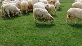 Pecore nell'agricoltura del prato della natura all'aperto sul fondo dell'erba Fotografia Stock