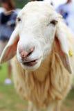 Pecore nell'azienda agricola Fotografia Stock