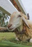 Pecore nell'azienda agricola Fotografia Stock Libera da Diritti
