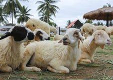 Pecore nell'azienda agricola Immagine Stock