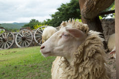 Pecore nell'azienda agricola Fotografie Stock Libere da Diritti