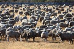 Pecore nell'azienda agricola Immagini Stock Libere da Diritti