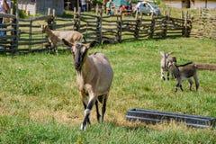 Pecore nell'azienda agricola antica educativa di Butser fotografia stock libera da diritti