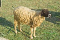 Pecore nell'azienda agricola naturale Tailandia del pascolo Fotografia Stock Libera da Diritti