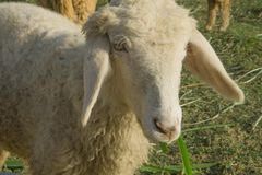 Pecore nell'azienda agricola naturale Tailandia del pascolo Fotografia Stock