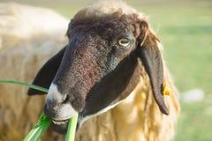 Pecore nell'azienda agricola naturale Tailandia del pascolo Fotografie Stock