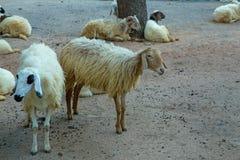 Pecore nella casa tailandese dell'azienda agricola fotografia stock