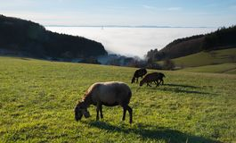Pecore nella foresta nera vicino a freiamt fotografia stock