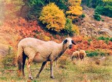 Pecore nella montagna, Bulgaria Fotografie Stock
