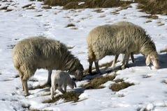 Pecore nella neve Fotografie Stock Libere da Diritti