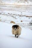 Pecore nella neve Immagine Stock Libera da Diritti