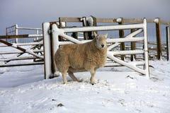 Pecore nella neve Fotografia Stock Libera da Diritti