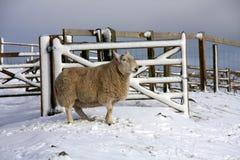 Pecore nella neve Immagini Stock Libere da Diritti