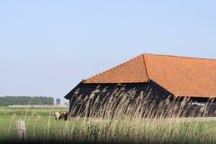 Pecore nella provincia olandese di Zelanda in Olanda Immagini Stock Libere da Diritti