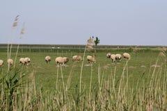 Pecore nella provincia olandese di Zelanda in Olanda Fotografia Stock Libera da Diritti