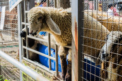 Pecore nella stalla fotografia stock