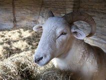 Pecore nella tettoia di pietra del riparo Fotografie Stock