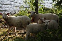 Pecore nelle alpi di Lyngen, Norvegia Fotografie Stock