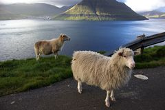 Pecore nelle isole faroe immagini stock libere da diritti