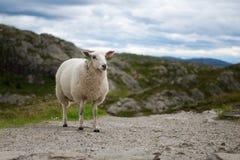 Pecore nelle montagne Fotografie Stock