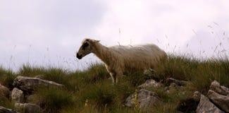 Pecore nelle montagne Fotografia Stock Libera da Diritti