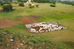 Pecore nello sheepfold fotografia stock libera da diritti